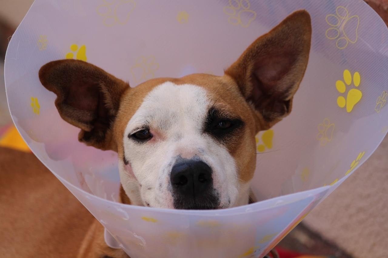 cachorro cirurgia
