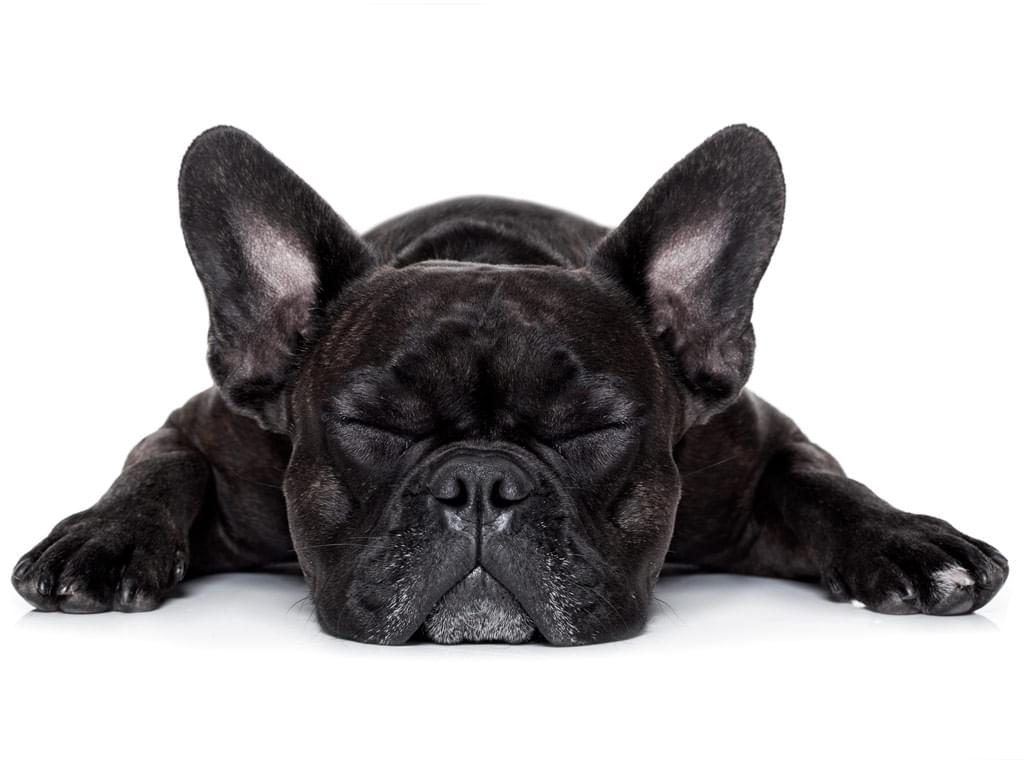 dor animal cachorro veterinário