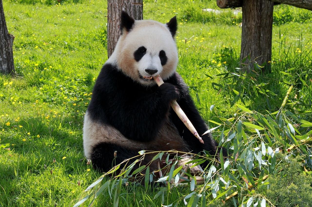 panda dietoterapia chinesa cura alimento