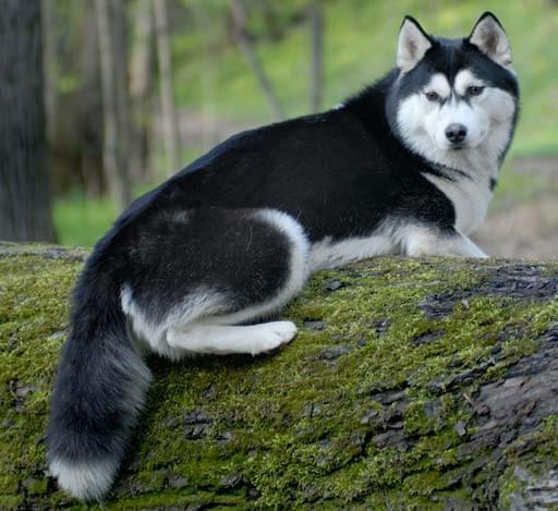 husky siberiano cachorro raça cão de guarda