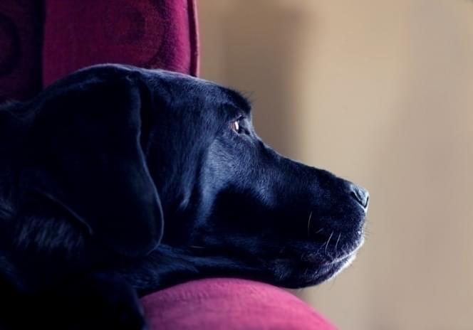 depressão em cachorros