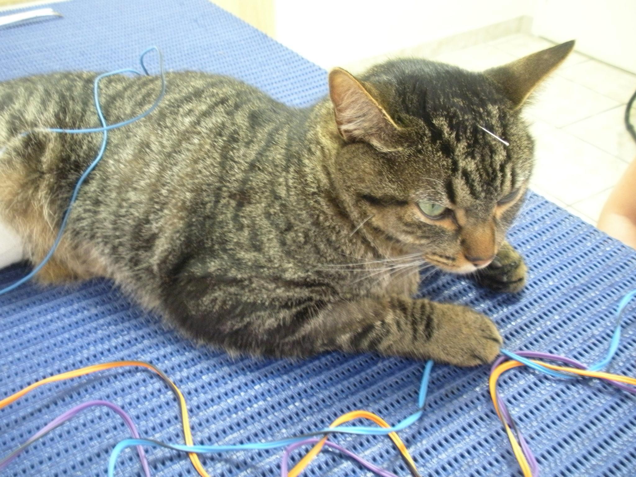 gato acupuntura