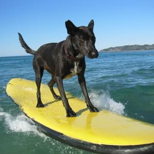 esportes cachorros cachorro esporte surfe surf