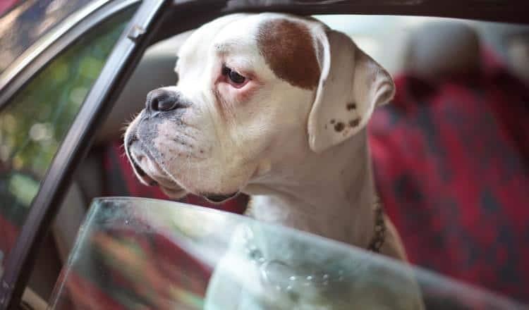 Como evitar enjoos em seu cão durante as viagens