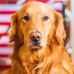 cuidados especiais para cães idosos