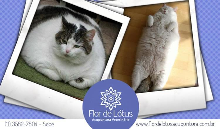 obesidade em gatos como identificar