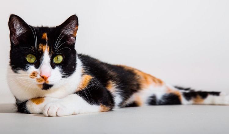 acupuntura em gatos