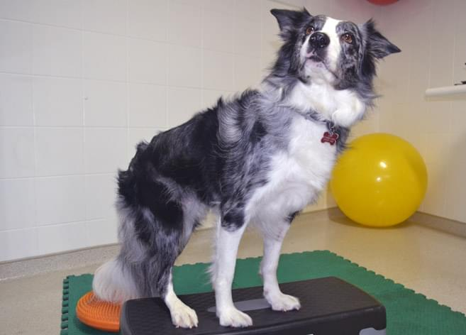 cinesioterapia fisioterapia veterinária cachorro