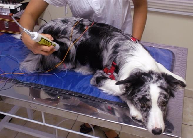 Eletroacupuntura Acupuntura Veterinária Cachorro
