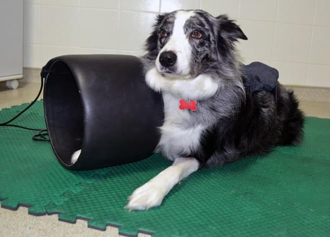 magnetoterapia fisioterapia veterinária cachorro