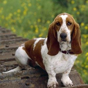 basset hound cachorro raça cão de caça