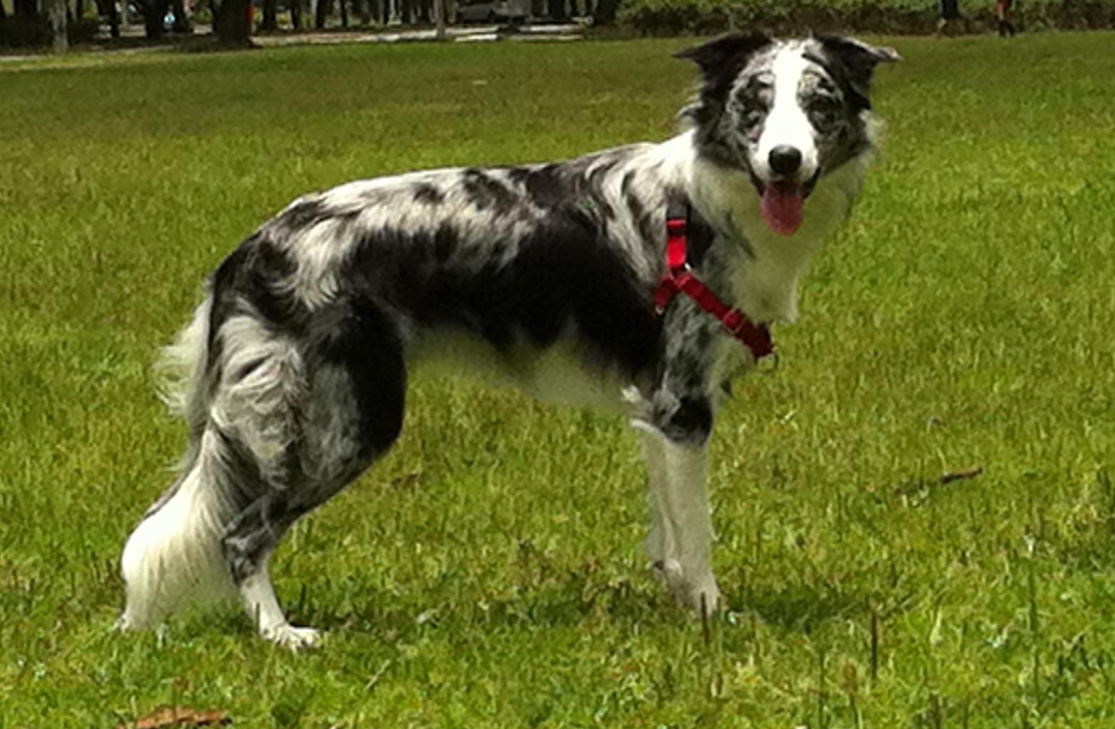 gaia cachorro raça pastor border collie
