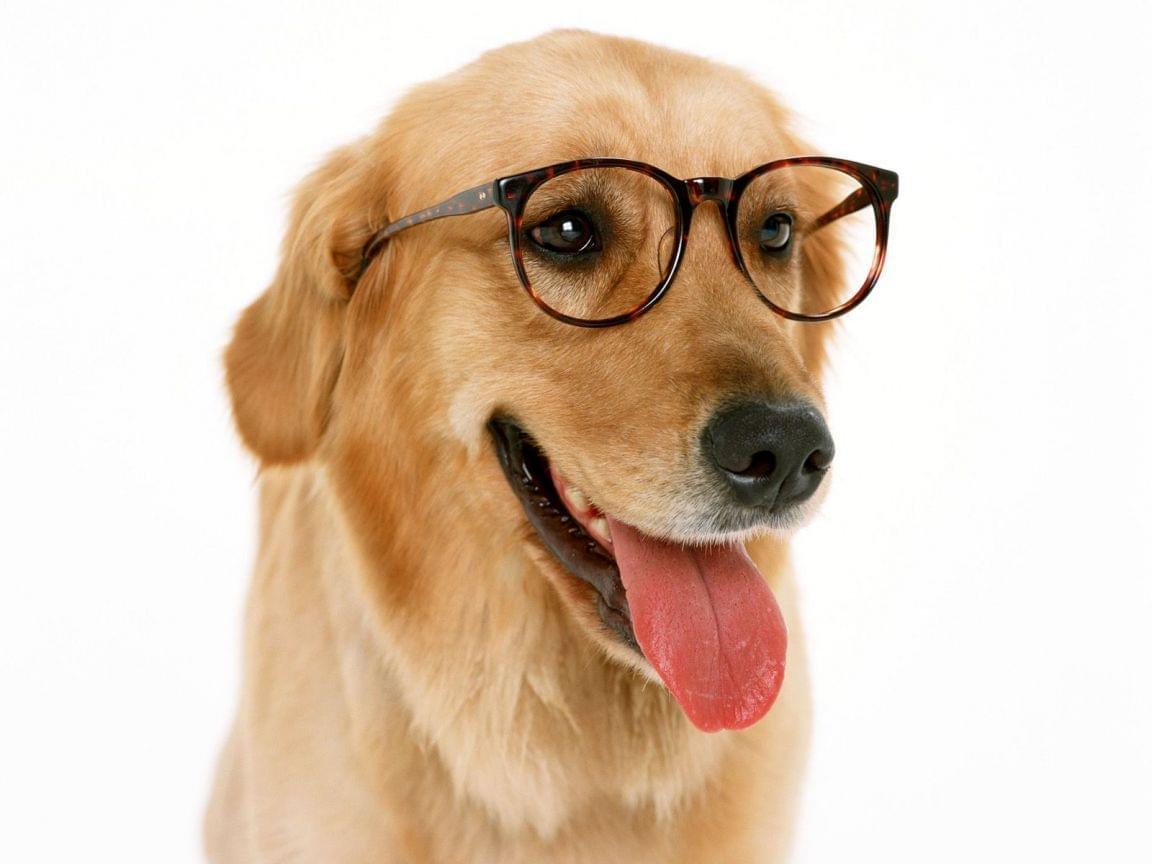cachorro golden retriever animal animais