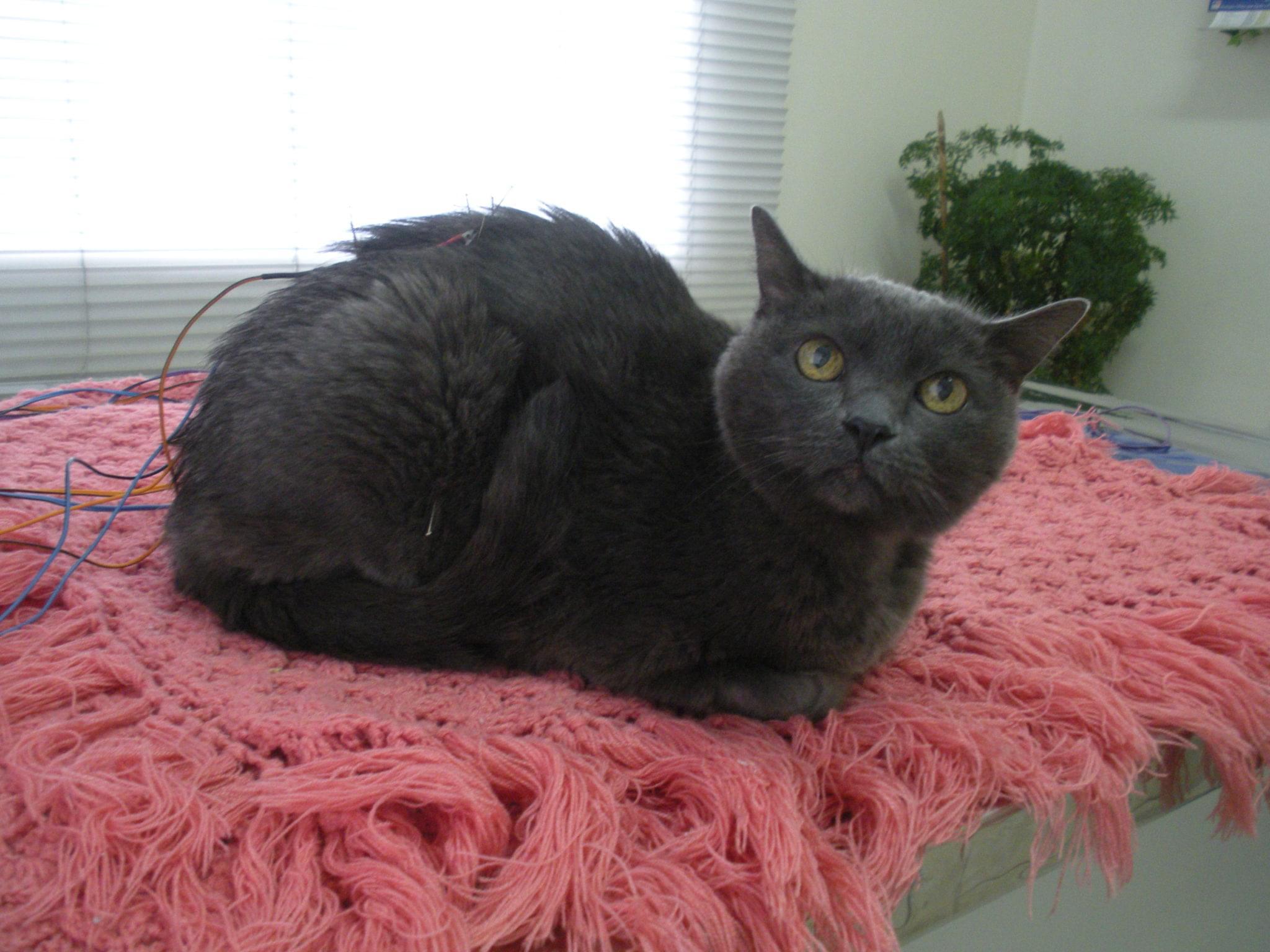 poliartrite discopatia gato acupuntura
