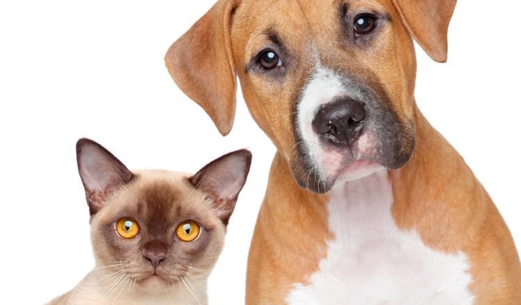 hemopuntura como técnica para o tratamento de doenças crônicas em animais